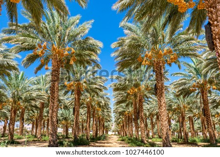Plantation of date palms. Tropical agriculture industry in the Middle East   #1027446100