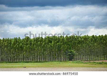 Plantation of Eucalyptus in Thailand - stock photo