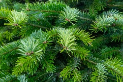 Plantation of evergreen nordmann firs, christmas tree growing ourdoor close up