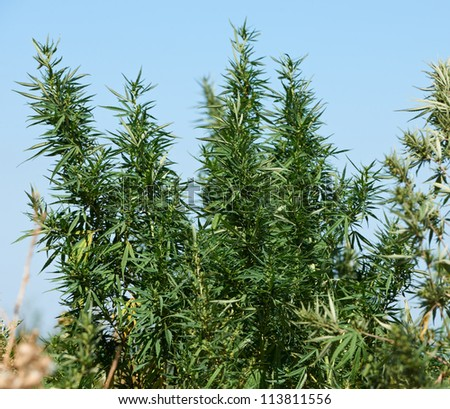 Plantation of marihuana plant for making drugs with thc narcotic