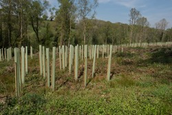 Plantation of Newly Planted Trees Supported by Wooden Stakes and Plastic Tubes in a Cleared Forest in Rural Devon, England, UK