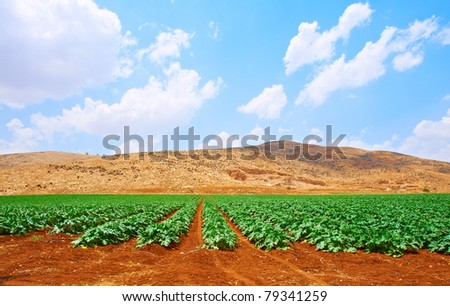 Plantation of  Pumpkin Against the Rocky Hills of Samaria, Israel