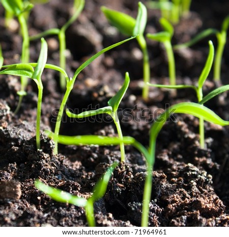 Plantation of sprouts in soil