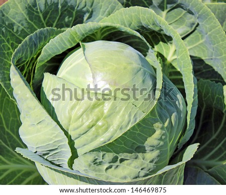 Plantation of the cabbage #146469875