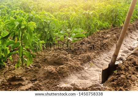 Plantation pepper and irrigation channel with a shovel. traditional method of watering the fields. Cultivation, care of the pepper plantation. Farm craft. Beautiful farm field. Farming and agriculture #1450758338