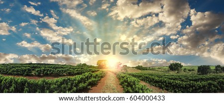 Plantation - Sunset at the coffee field landscape