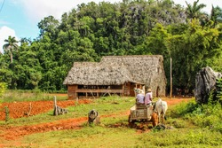 Plantation with hut,bull and palms in the background, Vinales valley, Pinar Del Rio, Cuba.Two farmers riding a bull.Landscape of Vinales, popular Cuban tourist destination.Cuban farmer ploughing field