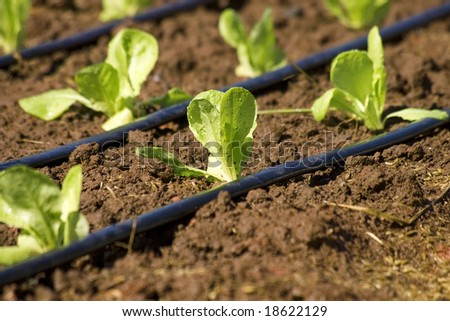 Plantation with irrigation duties