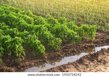 Plantations of bell pepper and leek onions. Growing vegetables on the farm, harvesting for sale. Agribusiness and farming. Countryside. Cultivation and care for plantation. Improving efficiency