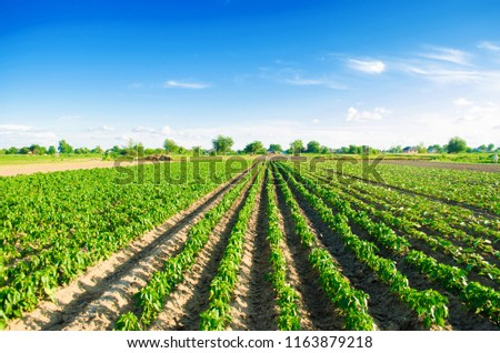 plantations of pepper grow in the field. vegetable rows. farming, agriculture. Landscape with agricultural land. crops
