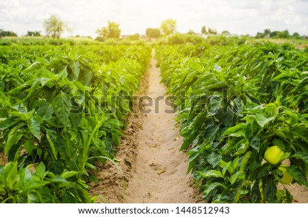 Plantations of sweet Bulgarian bell pepper. Farming and agriculture. Cultivation, care and harvesting. Grow and production of agricultural products for sale. farmland. Plant growing, agronomy. #1448512943