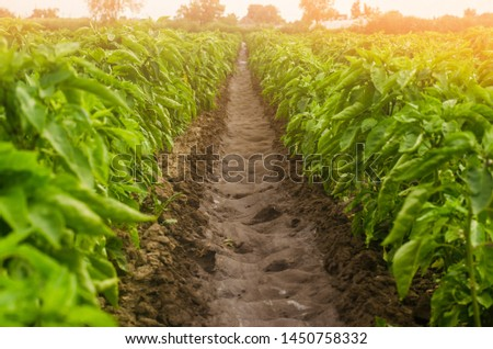 Plantations of sweet Bulgarian bell pepper. Farming and agriculture. Cultivation, care and harvesting. farmland. Plant growing, agronomy. Grow and production of agricultural products for sale.