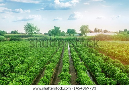 Plantations of sweet Bulgarian bell pepper. Farming and agriculture. Cultivation, care and harvesting. Grow and production of agricultural products for sale. farmland. Plant growing, agronomy.