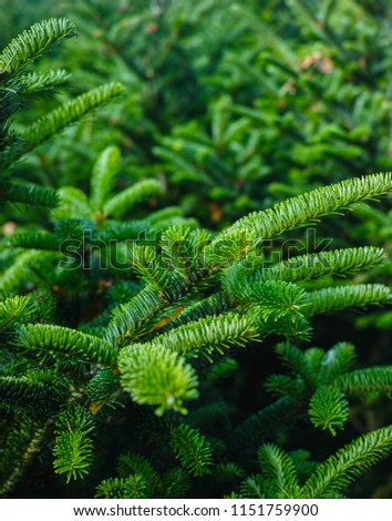 Plantatnion of young green fir Christmas trees, nordmann fir and another fir plants cultivation, ready for sale for Christmas and New year celebratoin in winter, close up