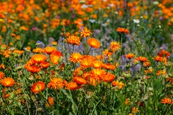 Planted glade with yellow marigold flowers. Calendula orange Flowers in summer meadow. Environmental German project for saving bee and insect.