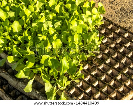Planted lettuce and styrofoam trays for seedlings, with selective focus, in Brazil