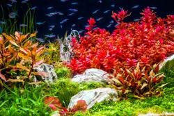 Planted tropical aquarium with neon