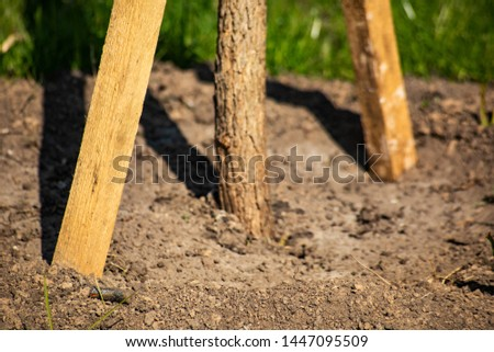 Planted young tree with stakes in the ground is close #1447095509