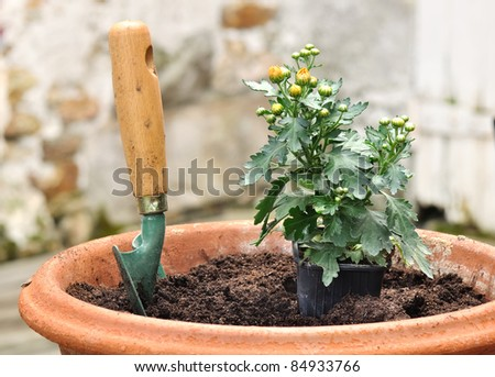 Planter and planting daisies in court in a clay pot