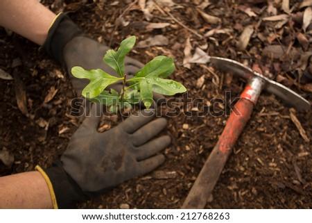 planting a seedling tree