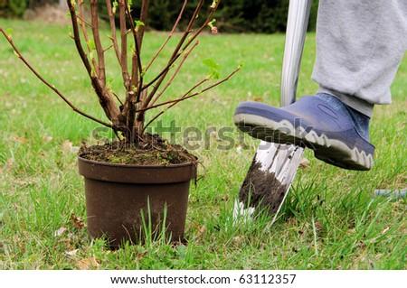 planting a shrub - stock photo