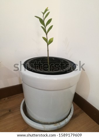 Planting a small indoor tree  Ornament plants easy to care can be planted in the house