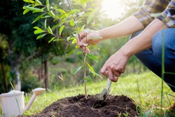 Planting a tree. Close-up on young man planting the tree, then watering the tree. Environment and ecology concept