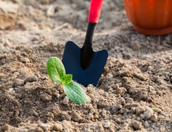 Planting a young seedling. Working in the vegetable garden. Metal spade. Agriculture. Farming. Close-up.