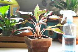 Planting and care for air purifying trees., Planting and caring for Thailand Siam Aurora in the home garden., Red Aglaonema Growing Chinese Greenery.