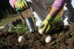 Planting bulbs with flower bulb planter outdoors in garden. Use of garden tools.