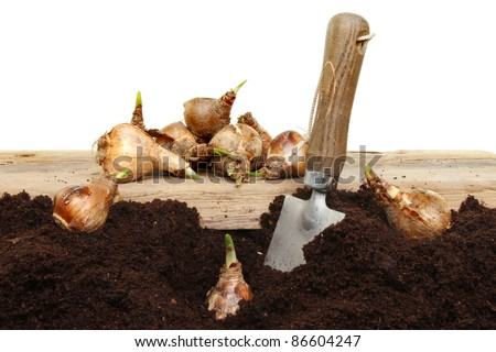 Planting daffodil bulbs into soil with a garden trowel