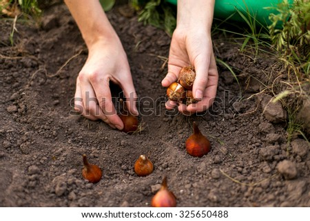 Planting flower bulbs (tulip) in the garden in autumn #325650488