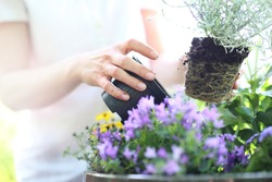 Planting flower garden. Female plants in pot plants forming a beautiful composition flower