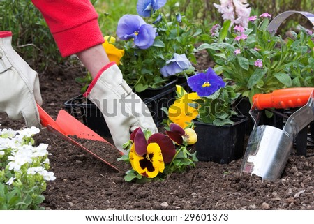 Planting flowers into flower beds in the garden
