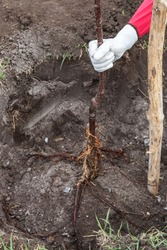 Planting fruit tree saplings in landing pit outdoors closeup, step by step guide