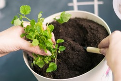 Planting greens in a pot from the store in the pot. Melissa officinalis in female hands. Home gardening, a step-by-step guide. Useful and tasty mint plants on the windowsill, healthy nutrition.