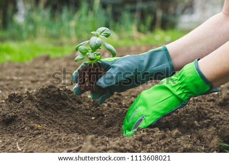Planting in the garden, hands in gloves planting basil into flowerbed