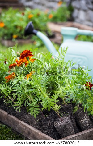 Planting marigolds in a flowerbed with a garden shovel and watering can #627802013