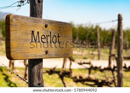 planting merlot grape in winery Foto d'archivio ©