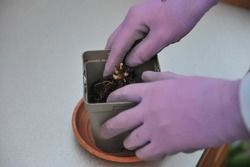 Planting of a bare-rooted young plant of Hosta Patriot in a plastic pot. Putting the plant into the pot