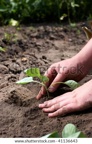 Planting of cabbage. Step by step