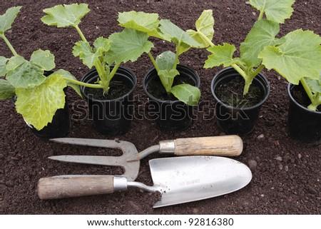 Planting of vegetables seeds on prepared soil