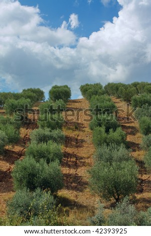 Planting Olive Trees. Rural Landscape with Olives Trees.