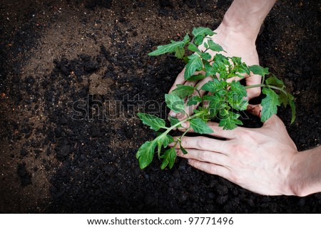 Planting or tending to a young tomato plant - stock photo