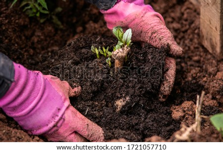 planting out sprouting dahlia tuber with shoots in spring flower garden Foto stock ©