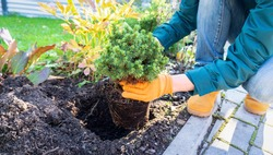 Planting  Picea glauca Alberta Globe in the garden. Conifers in landscape design. Gardening work on transplanting plants with a closed root system. Transplantation of plants purchased from the nursery