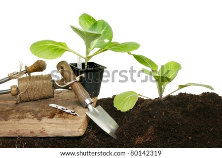 Planting seedling cabbage plants in soil with garden tools against a white background