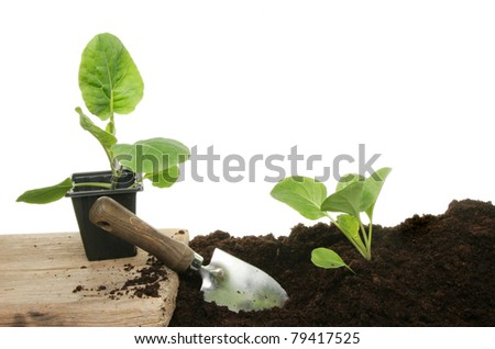 Planting seedling vegetable plants into fresh compost with a garden trowel