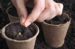 Planting seeds in the spring.The seeds in my hand against the soil.
