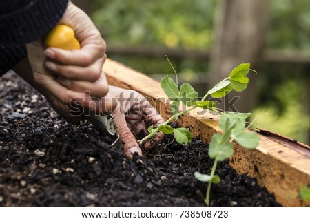 Planting Snow Peas/ planting organic snow pea seedlings in a raised garden bed  - Shutterstock ID 738508723